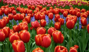 Red-and-Yellow-Tulips-Creative-Commons-e1400265070557
